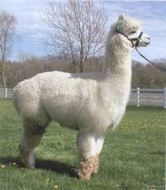 Alpaca....Most expensive wool in the world  1