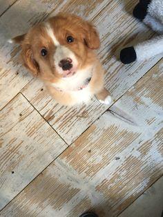 Beautiful Eys toller pup Zenna