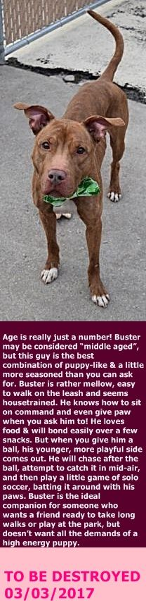 SAFE 3-3-2017  For the Love of Dog - Rottweiler Rescue of New Hampshire --- Brooklyn Center BUSTER – A1104357  MALE, BROWN / WHITE, AM PIT BULL TER / POINTER, 7 yrs OWNER SUR – EVALUATE, NO HOLD Reason NO TIME Intake condition UNSPECIFIE Intake Date 02/21/2017  http://nycdogs.urgentpodr.org/buster-a1104357/