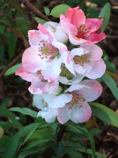 Flowering quince is equipped with sharp spines that make it an effective barrier plant or privacy screen hedge. Garden Front Of House, Front House Landscaping, Small Backyard Landscaping, Acreage Landscaping, Landscaping Ideas, Backyard Ideas, Tall Shrubs, Flowering Shrubs, Trees And Shrubs