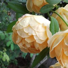 Cannot resist the cupped blooms of Golden Celebration