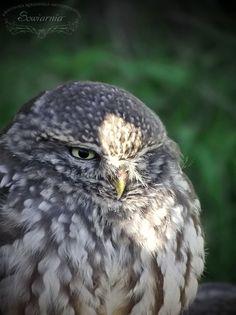 Pójdźka / Little owl / Athene noctua