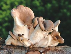 Edible Wild Mushrooms of the Pacific Northwest