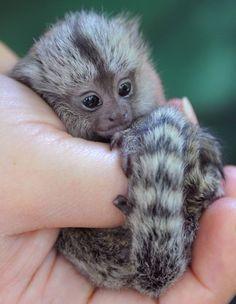 marmoset monkey - world's smallest monkey!