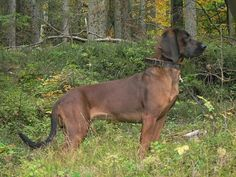 Bavarian mountain hound dog information – Dog Breeds