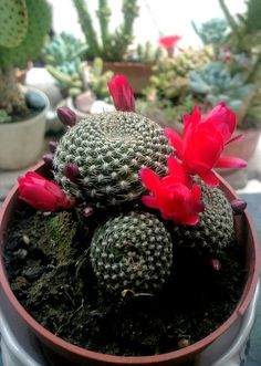 Rebutia is a beautiful type of flowering ball cluster cactus that in summer/spring gets covered in beautiful little trumpeting flowers that can cover the entire cactus. They come in varying colours with the most common being red/pink