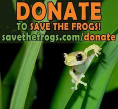 Do you like frogs and want them saved? Great! So do we. With your financial support, SAVE THE FROGS! can continue to do what no other nonprofit organization on the planet does: educate millions, protect, restore and create frog habitat, enact legislation that benefits frogs, and train the next generation of amphibian conservationists. Please help keep the SAVE THE FROGS! movement alive and growing: donate TODAY at www.savethefrogs.com/donate  if you don't have a credit card, no problem, you…