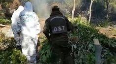 Terrible: Carabineros descubrió (y quemó) la plantación de marihuana más grande de Chile