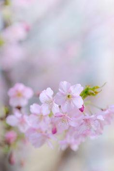 Sakura, Spring, 早春の桜
