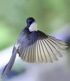 A Restless Flycatcher that turned it's head and smiled at the camera as it flew passed.
