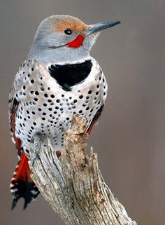 Because of their amusing antics, noisiness, and abundance from Alaska to Mexico and coast to coast, the northern flicker is probably the best-known woodpecker in North America. In different parts of its range, two color variations are found. Both bear the signature white rump, which flashes when the bird flies up from the ground.