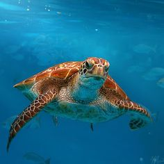 Loggerhead sea turtles.....my daughter's favorite and beautiful animals.