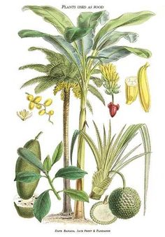 Date & banana palms, Jack fruit & pandanus by William Rhind from his botanical work on edible and medicinal plants. Print of an engraving, undated