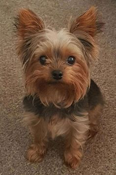 "Get wonderful ideas on ""yorkshire terrier dogs"". They are actually on call for you on our site. Yorky Terrier, Yorshire Terrier, Cute Puppies, Cute Dogs, Dogs And Puppies, Rottweiler, Yorkies, Chien Yorkshire Terrier, Top Dog Breeds"