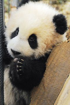 It a baby panda!  SO cute!