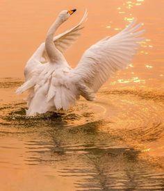 Swan, Bird, Animals, Swans, Animales, Animaux, Birds, Animal, Animais