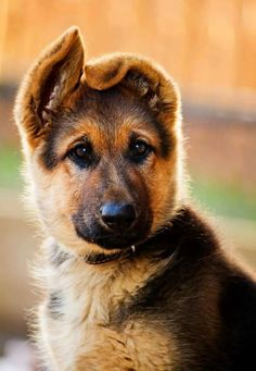 GSD Puppy......beautiful!