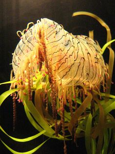 A Flower Hat jellyfish