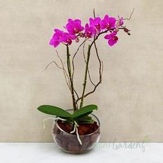 Indoor Plants Online, Buy Plants Online, Miniature Orchids, Garden Solutions, Glass Planter, Orchid Arrangements, Succulent Gifts, Pink Orchids, Beautiful Gifts