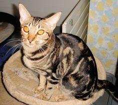 Zelda, tawny Ocicat Classic