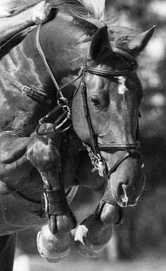 equestrian equine cheval pferde caballo stadium show jumping BW jumper Pretty Horses, Beautiful Horses, Animals Beautiful, Horse Girl, Horse Love, Majestic Horse, Dressage, Reining Horses, Equine Photography
