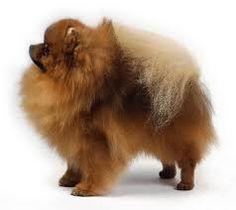 www.petclic.es la mayor tienda online de productos para #mascotas. La mayor biblioteca de contenido y consejos sobre mascotas. 1.000 consejos. 50.000 imagenes. Foto del #perro spitz pomerania