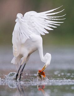 The moment a great egret plucks two fish from the water in one go was caught on camera by Christopher Schlaf who travelled to a lake near his home near Washington, Michigan