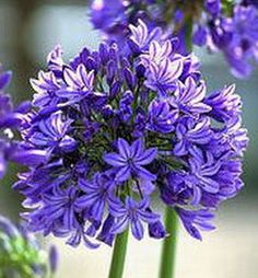 Agapanthus - my absolute favourite