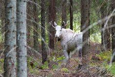 """Kuvaaja kohtasi metsässä valkoisen hirven - """"Luulin hevoseksi"""""""