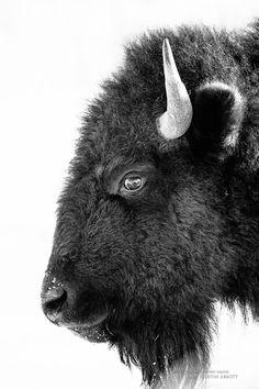 Bison Formal Portrait by Dustin Abbott