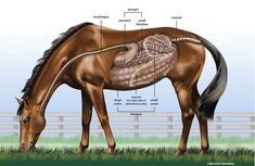 Bel article sur le système digestif du cheval et la digestion.