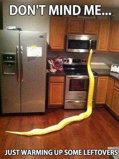 Burmese python feeling a bit peckish.