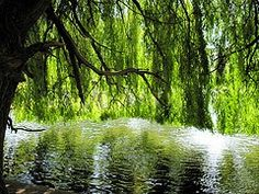 My willow of sorrow  My willow of joy  You show your strength  when you're naked  You eternally bring  the first signs of hope  I long to conceal myself  in your green embrace  My willow of sorrow  My willow of joy