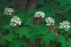 Thanks to my dad we planted several of these on the border of our property.  Alabama state wildflower: Oak-Leaf Hydrangea
