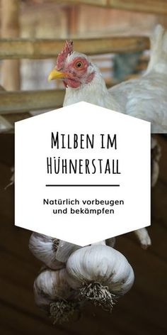 Mites in chickens can be effectively prevented and treated with a good hygiene routine and natural home remedies. Herbs like garlic and thyme strengthen the defense of your chickens and drive away annoying ectoparasites like … Social Trends, Medicinal Herbs, Bird, Routine, Pallets, Chicken Roost, Naturally Organic, Organic Chicken, Animals Photos