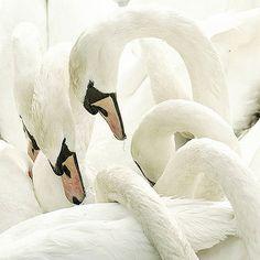 white beautiful swans #animals