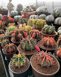 Spectacular photos of desert plants by Wachirapol Deeprom, a gifted self-taught photographer, and cactus lover currently based in Bangkok, Thailand. Growing Succulents, Cacti And Succulents, Cactus Plants, Local Photographers, Landscape Photographers, Kinds Of Cactus, Unusual Plants, Desert Plants, Image Of The Day