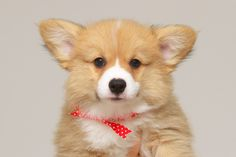 Precious Puppy! Cutie-pie Pembroke Welsh Corgi pup from Picasa Web.