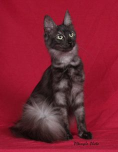 Black Smoke Female Turkish Angora and like OMG! get some yourself some pawtastic adorable cat shirts, cat socks, and other cat apparel by tapping the pin! Turkish Angora Cat, Angora Cats, Pretty Cats, Beautiful Cats, Pretty Kitty, Cute Cats And Kittens, Cool Cats, Herding Cats, Cat Sweaters