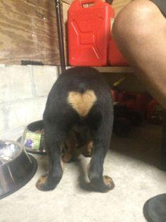 my friends rottweiler puppy has a perfect heart on his rump #rottweilerpuppy