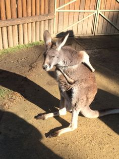 Here's another picture of a Kangaroo.