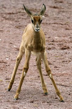"""Taking a stand - Franzi, a young Mhorr gazelle, stands in its enclosure in the Frankfurt Zoo in Germany on April 5. Franzi was born on Feb 16, 2012."" ~MSN"