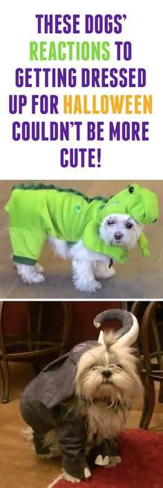 Not sure if these pups love or hate the idea of their Halloween costumes! #dogs