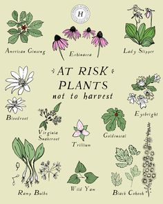 Late spring and summer are ideal times to harvest many plants, but some plants should be avoided. Here are 12 at-risk plants to avoid gathering this year. Herbal Plants, Medicinal Plants, Jamba Juice, Herbal Magic, Wild Edibles, Healing Herbs, Herbal Medicine, Medicine Garden, Book Of Shadows