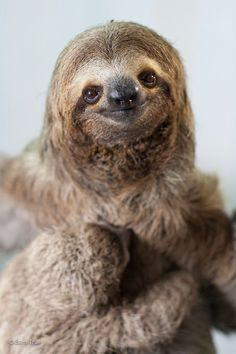 Adopt A Sloth in Costa Rica - The Sloth Institute Costa Rica Sloth Ariel and Flounder Pictures Of Sloths, Cute Sloth Pictures, Funny Pictures, Cute Baby Sloths, Cute Baby Animals, Baby Otters, Adopt A Sloth, Sloth Eating, Two Toed Sloth