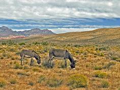 Wild Burros of Red Rock Canyon - Las Vegas, Nevada
