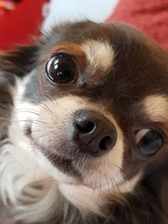 the look of love... #chihuahua
