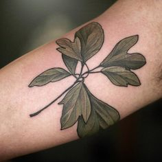 "Tattoo by Alice Carrier: ""Sassafras botanical illustration"""