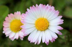 Gänseblümchen - Symbolblume des Christentums (Marienpflanze)