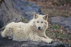 Siberian wolf (canis lupus albus) is just darling! Like all wolves! Who does not agree it threatens a large arguments! You see people? :)